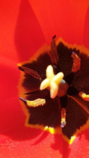 red tulip in
