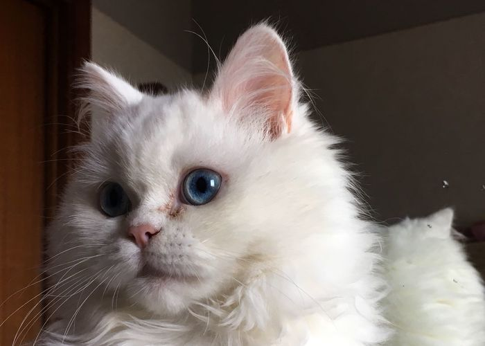 Domestic Animals Pets Mammal Domestic Cat One Animal Animal Themes White Color Indoors  Feline Whisker Close-up Portrait No People Persian Cat  Day Indoors  Blue Eyes Persian Cat  Eyekitten EyeEm Nature Lover Eye4photography  Looking At Camera Pet Portraits My Best Photo