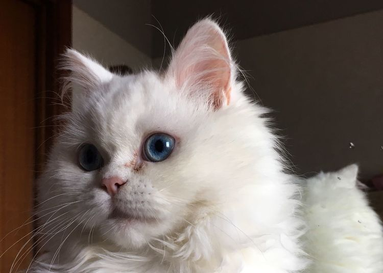 Domestic Animals Pets Mammal Domestic Cat One Animal Animal Themes White Color Indoors  Feline Whisker Close-up Portrait No People Persian Cat  Day Indoors  Blue Eyes Persian Cat  Eyekitten EyeEm Nature Lover Eye4photography  Looking At Camera Pet Portraits