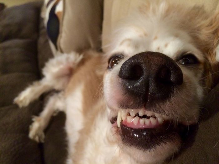Brittany Spaniel Cocker Spania Dog No Braces Sleepy Teeth