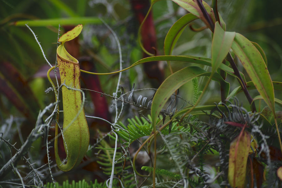 Pitcherplant Pitcher Plant Pitcher Plants Nephentes Kantong Semar Nature Nature Photography Nature_collection Nature Themes Close-up Beauty In Nature Freshness Naturelovers Naturetheme Growth Themes Plant Naturelover Grass Survival Outdoors Leaf Nature No People Growth