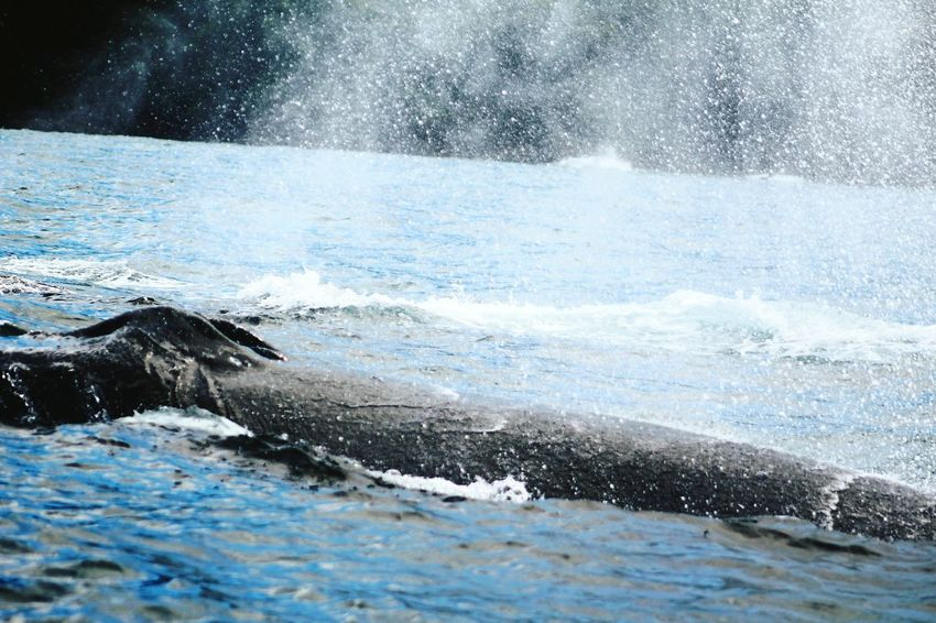 Sea Animals In The Wild One Animal Whale Humpback Whale Water No People Nature Animal Wildlife Motion Outdoors Sea Life Mammal Aquatic Mammal Animal Themes Spraying Day Swimming Beauty In Nature UnderSea ballenas Bahia Solano Ballenas Jorobadas