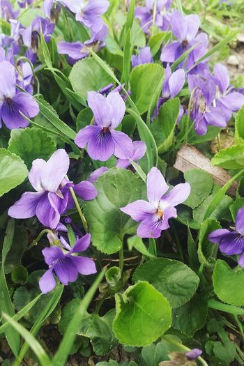 LoveNature Flowerlovers Spring Flowers Nature Beauty In Nature No People Viola Odorata Violet Violet Flowers Flower Head Flower Leaf Purple Petal Close-up Plant Blooming Green Color Flowering Plant Plant Life