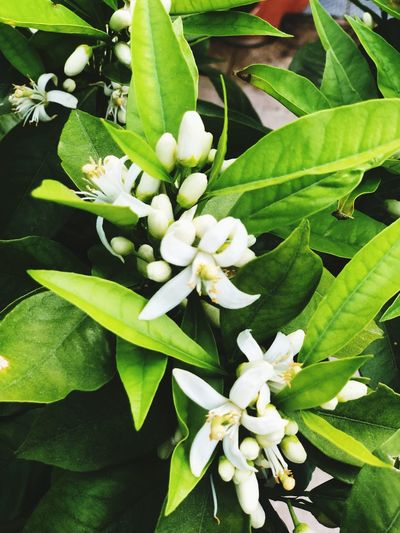 Flowers Plant Growth Beauty In Nature Flower Flowering Plant Plant Part Leaf Freshness Petal Nature Close-up Inflorescence Flower Head No People Green Color Fragility Day High Angle View Vulnerability  White Color