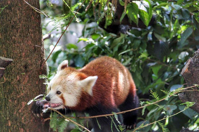Red panda Lesser Panda mammal native, reddish-brown fur Shaggy Tail waddling gait Solitary Animal endangered Ailurus forest Wild animal Zoo tree Protected Animal