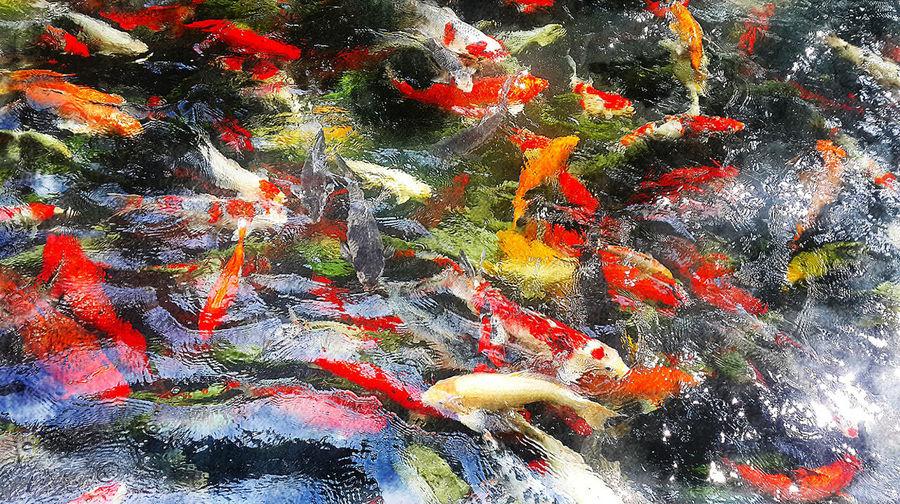 Koi fishs in