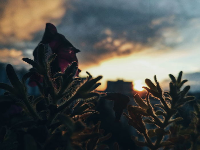 EyeEm Selects Sunset Flower Growth Beauty In Nature Agriculture Day Freshness Defocused Nature Plant Sky Cloud - Sky Rural Scene Outdoors No People Herbal Medicine Close-up Flower Head