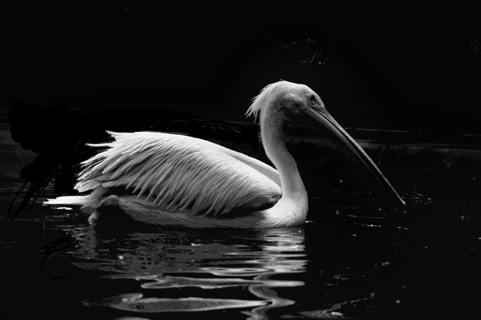 ..HidinG.. mY.. heaRt..iN.. tHe.. sHadeS.. oF.. bLacK.. anD.. wHitE... One Animal Animals In The Wild Swimming Reflection Animal Themes Bird No People Water Black Background Nature Outdoors Pelican Close-up Black And White Lonely Light And Dark Tranquil Scene Expression Black White Silence Of The Soul Kerala Black And White Friday