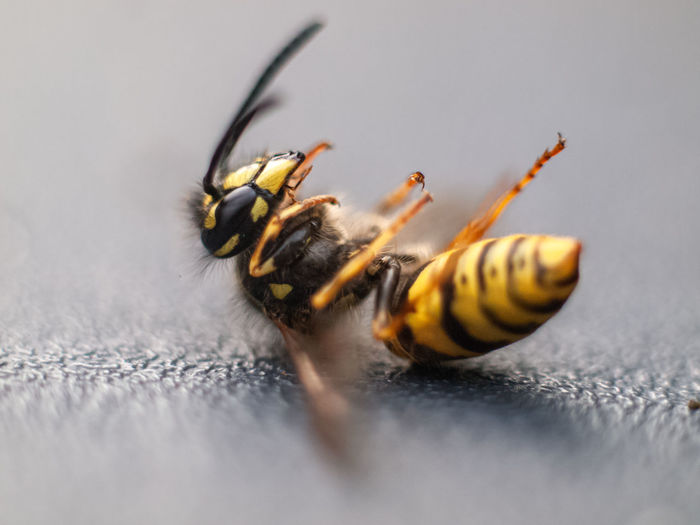 Close-up of a struggling wasp