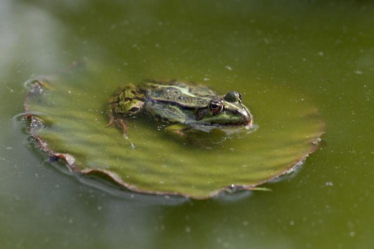 green frog Amphibia Amphibian Amphibian Photography Amphibians Anura Common Water Frog Edible Frog Frog Frogs Green Frog Green Frog 🐸🐸 Green Frogs Pelophylax Pelophylax Esculentus Pelophylaxesculentus Rana Rana1 Ranidae Teichfrosch