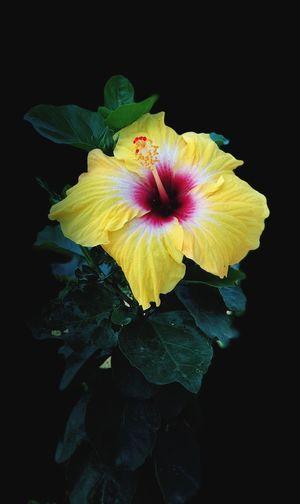 Flower Petal Fragility Flower Head Black Background Yellow Freshness Close-up
