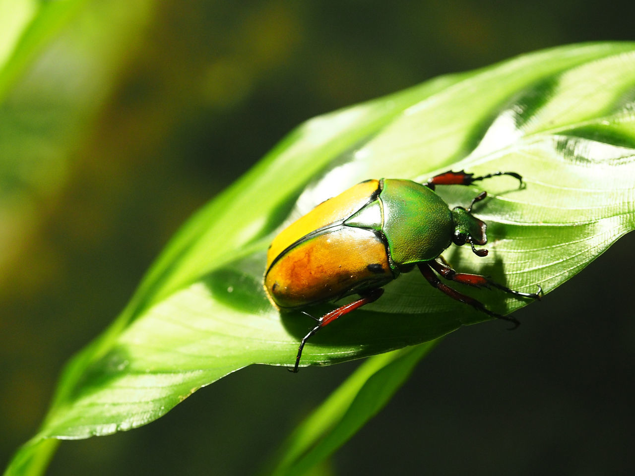 animal wildlife, animal themes, invertebrate, animals in the wild, insect, animal, plant part, green color, one animal, leaf, close-up, plant, focus on foreground, no people, nature, day, growth, beauty in nature, beetle, outdoors