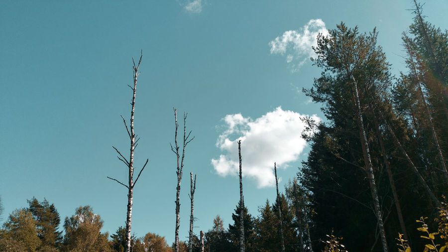 dead birch trees and a cloud Edge Of The World Edge Of The Forest Glade Clearing Turquoise Colored Warm Day Sunny Autumn colors Remote Nature CIRCLE Of LIFE Dead Trees Dead Forest Birch Trees Cloud - Sky Autumn WoodLand Russian Tree Forest Silhouette Sky Burnt Fall Change