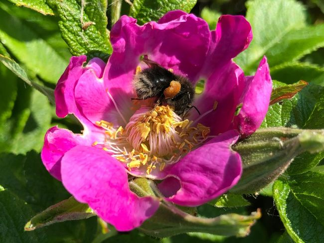 Bumblebee Prerow IPhone X IPhone X Photography Flowering Plant Flower Petal Growth Plant Animals In The Wild Fragility Freshness Insect Flower Head Bee Beauty In Nature Animal Themes One Animal Animal Wildlife Animal Vulnerability  Invertebrate Inflorescence Pink Color
