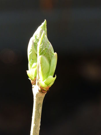 New life in spring garden ... :-) Bud Buds Buds & Blooms Buds On Branch Buds On Branches Buds On Tree Bushes Close-up Day Freshness Garden Garden Photography Nature Nature Nature Photography No People Outdoors Plant Plant Photography Spring Spring Buds Spring Buds On Tree Spring Photography Young Leaf Young Leaves