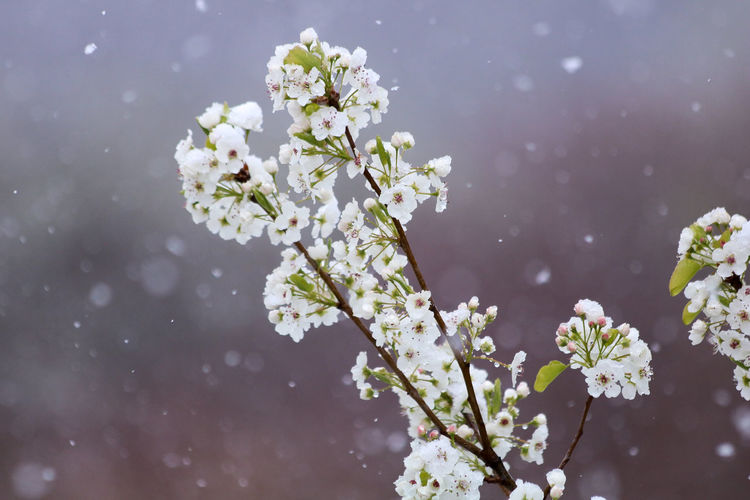 Close-up of white cherry blossoms in spring