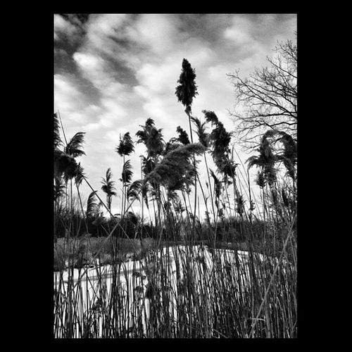 Reeds on the riverbank. #bw #bnw #bw_crew #bwfever #bnw_life #bw_lovers #bwmasters #blackandwhite #ic_bw #ic_nature #irox_bw #insta_crew_bw Bnw_life Mdbw Blackandwhite Only_grayscale Bw Bwstyles_gf_water Bnw Insta_crew_bw Bws_worldwide Gang_family Bwmasters Bw_lovers Bwstyles_gf Ic_nature Irox_bw Bw_crew Ic_bw Bwfever Bnw_worldwide