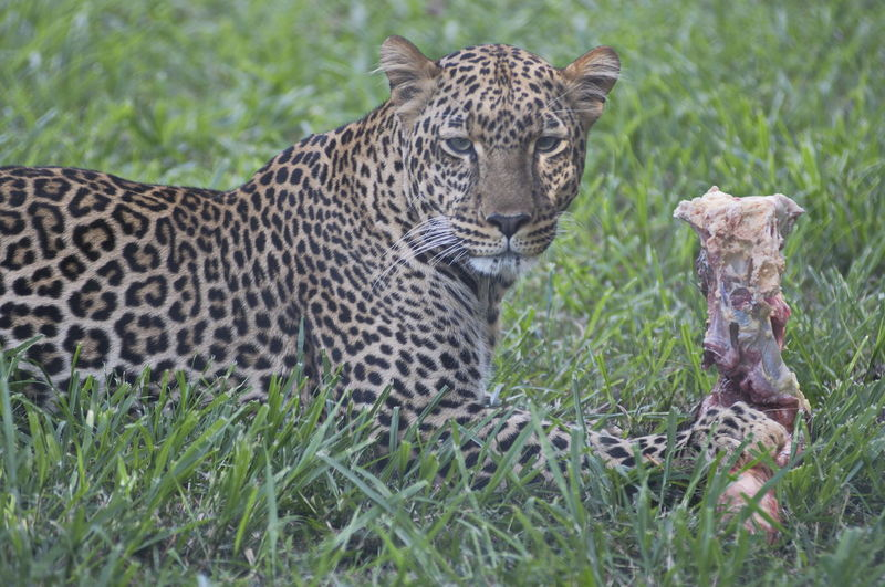 Leopard with