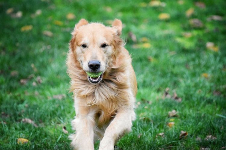 Dog Pets Animal Themes Grass Mammal One Animal Domestic Animals Looking At Camera Portrait Golden Retriever Retriever No People Outdoors Day Nature Backyard Backyard Photography My Dog Dogs Of EyeEm Dogs Doglover Mansbestfriend Goldenretriever What Who Where Enjoy The New Normal