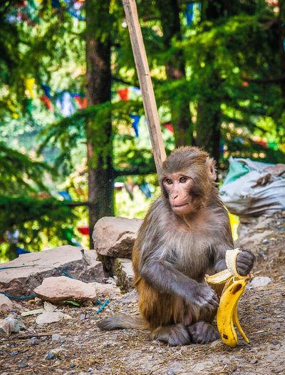 Monkey With Banana Peel On Field