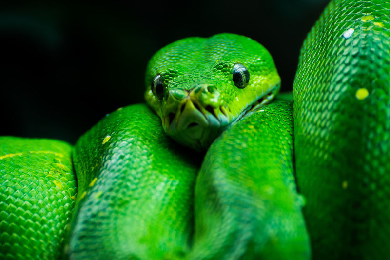 Animal Head  Animals In The Wild Close-up Green Green Color Nature One Animal Snake Wildlife