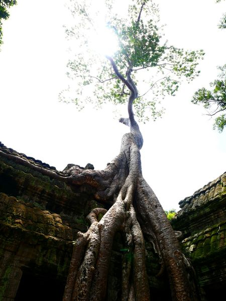 No People Tree Low Angle View Tree Trunk Nature Outdoors Tree Area Travel Tourism EyeEmNewHere Cambodia Stone Material Religion Place Of Worship Ruin Old Ruin Ancient Green Color Angkor Ta Phrom Ta Phrom Temple Lost In The Landscape Connected By Travel Perspectives On Nature