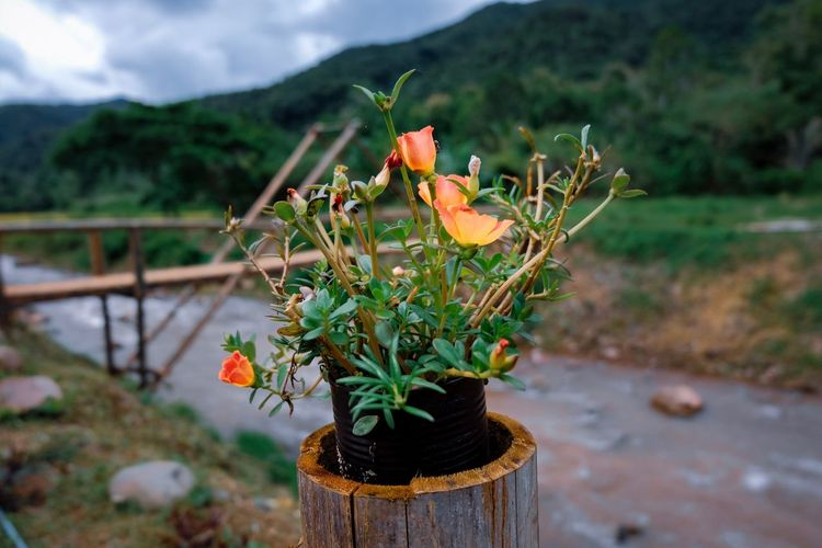 Flower Portulaca oleracea Flower Flower Portulaca Oleracea EyeEm Plant Flower Flowering Plant Beauty In Nature Focus On Foreground Growth Nature No People Potted Plant Close-up Freshness Flower Head Day Fragility Vulnerability  Mountain Petal Outdoors Inflorescence Tranquility