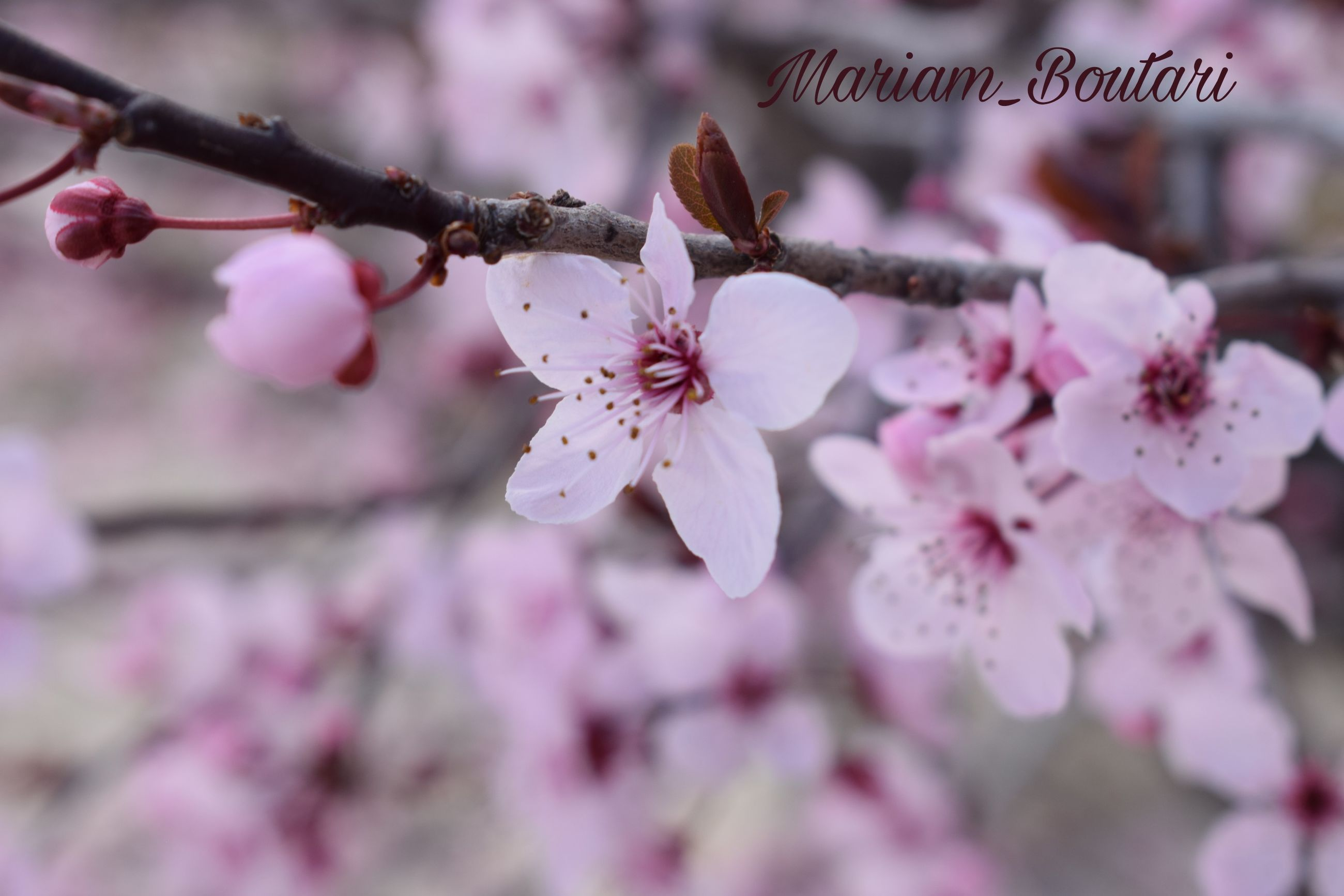 flower, flowering plant, plant, freshness, growth, pink color, fragility, vulnerability, beauty in nature, blossom, close-up, tree, petal, branch, cherry blossom, springtime, nature, flower head, day, inflorescence, pollen, no people, outdoors, cherry tree, plum blossom, spring