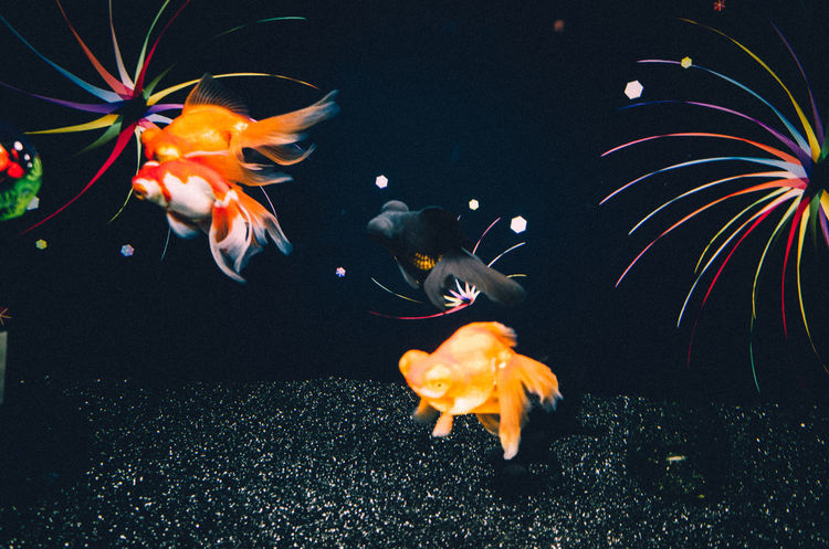 Goldfish In Water Night Lights Pop-eyed Goldfish Under Water Animal Themes Animals Animals In The Wild Aquarium Colour Of Life Day Fish Goldfish Light And Shadow Lovely Multi Colored Nature Orange Color Swimming UnderSea Underwater Water