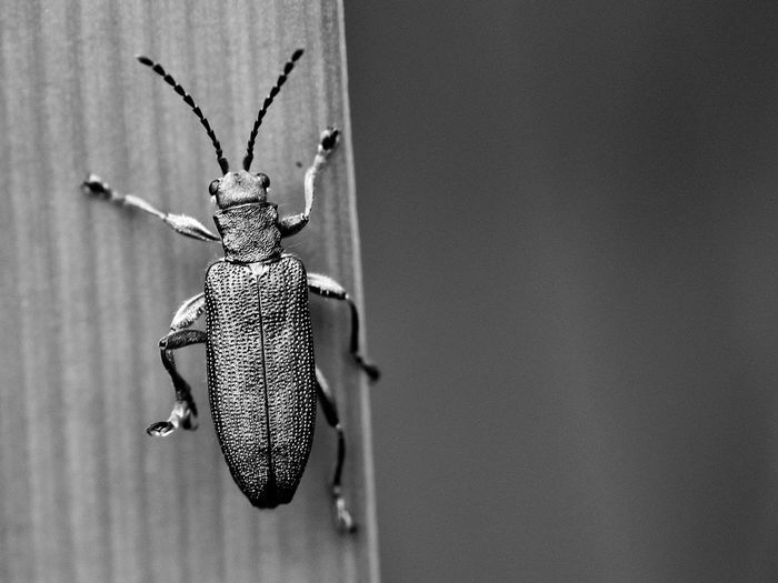 Leaf beetle Blackandwhite Blackandwhitephotography Black And White Collection  Monochrome Insects  Insects Collection Nature Nature_collection Macro Macro Photography Macro_collection