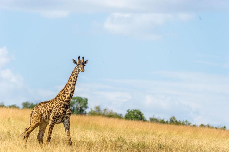 Giraffe In Grass Against Sky