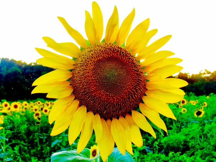Flower Fragility Petal Nature Flower Head Beauty In Nature Sunflowers Field Country Plant Sunflower Yellow Growth Field Beauty Pollen Outdoors Blossom Red Close-up Summer Rural Scene Countryside Indiana MidWest Freshness