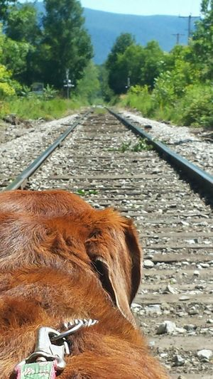 My Dog Petwalk Pet Ginger Color Close-up Railroad Tracks Railroad Crossing Taking Photos Mountain View Greenmountainstate Greenmountains Trees Dogleashes Dogs View Dogs Of EyeEm Open Edit