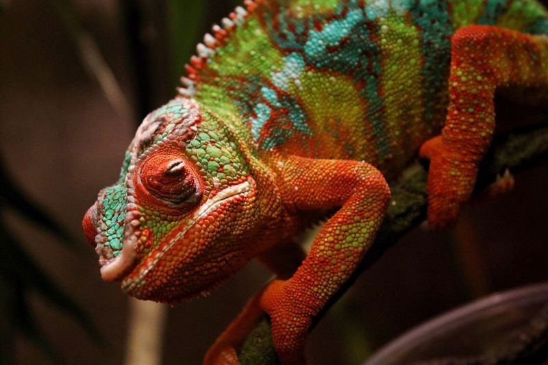 Close-up of colorful chameleon