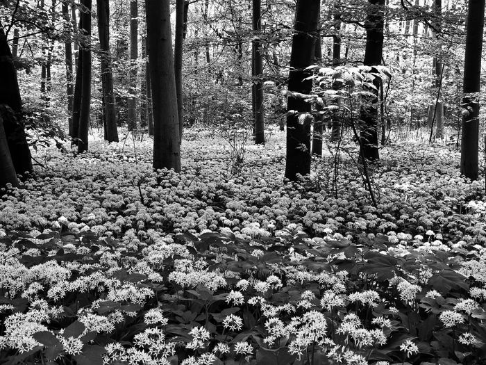 Spring in the Woods Spring Spring Flowers Wood Forest Blackandwhite Black And White Black & White Trees