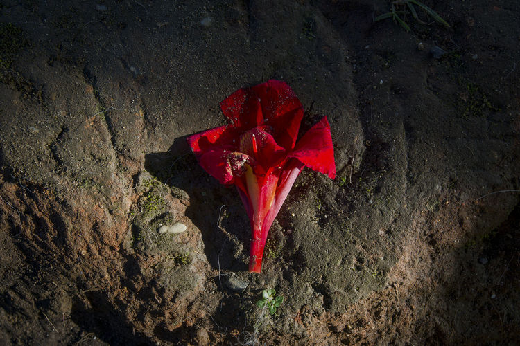 High angle view of red rose plant