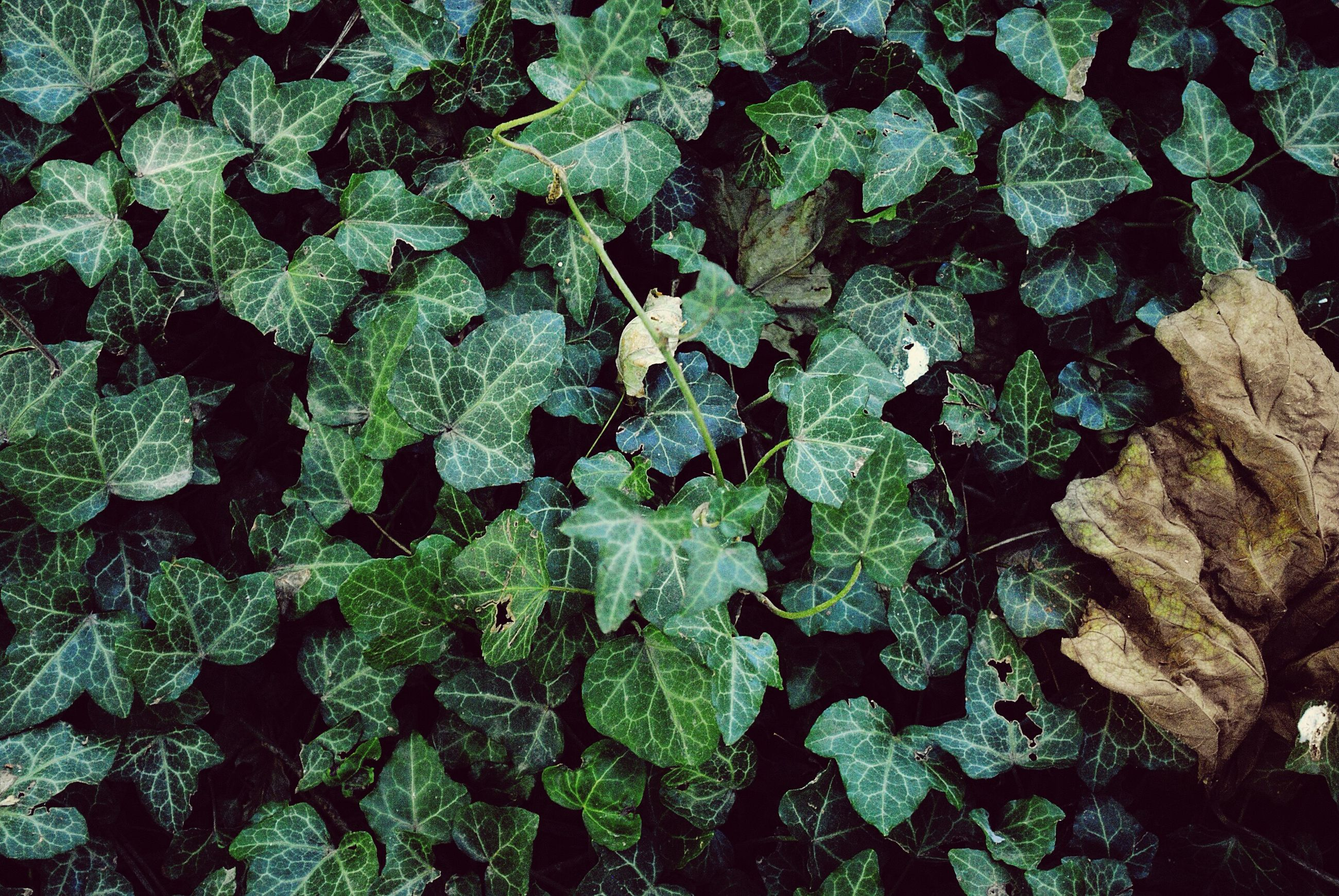green color, backgrounds, full frame, leaf, growth, plant, no people, nature, close-up, indoors, ivy, freshness, day