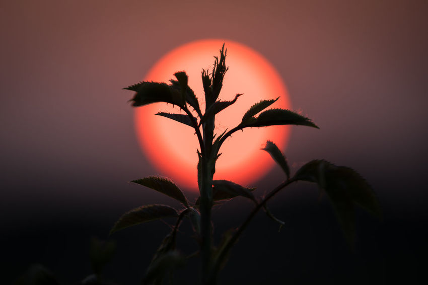 Beauty In Nature Close-up Focus On Foreground Growth Leaf Nature No People Orange Color Outdoors Plant Plant Part Red Scenics - Nature Silhouette Sky Sun Sunset Tranquility Tree