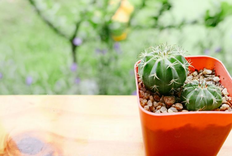 Close-up Day Drink Flower Flower Pot Focus On Foreground Food Food And Drink Freshness Glass Green Color Growth Houseplant Leaf Nature No People Outdoors Plant Plant Part Potted Plant Refreshment Succulent Plant Table