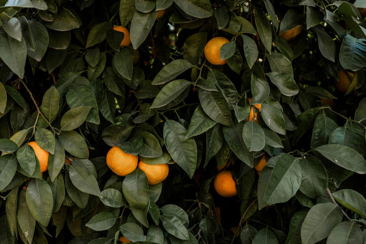 Marrakesh Marrakech Tourist Attraction  Travel Destinations Travel Photography Morocco Plant Part Food And Drink Orange - Fruit Citrus Fruit Orange Color Freshness Nature Plant Wellbeing Fruit Tree Outdoors Green Color Healthy Eating Food No People Orange Leaf Fruit Growth