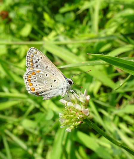 EyeEm Nature Lover POLYOMMATUS ICARUS Polyommatus Animal Wildlife Animals In The Wild Beauty In Nature Butterfly Butterfly - Insect Butterfly Collection Close-up Day Fragility Insect Insect EyeEm Insect Photography Invertebrate Polyommatus Icarus Icarus Vulnerability
