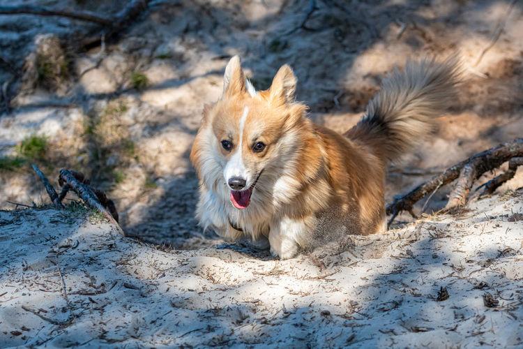 Welsh corgi pembroke dog runs along forest sand trails on a sunny spring day