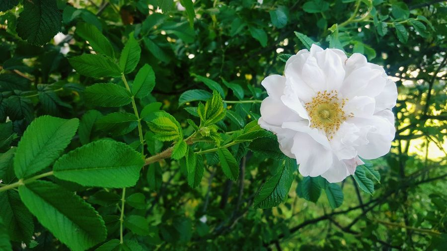 Celestial Alba Rose Flower Nature Beauty In Nature Petals Flower Head Summer Garden Blooming White Rose Rosé Celeste Celestial Alba Roses Celestial Alba Rose