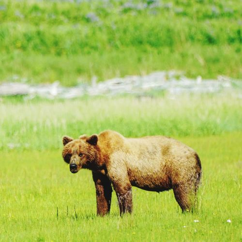 Portrait of grizzly bear on grassy field