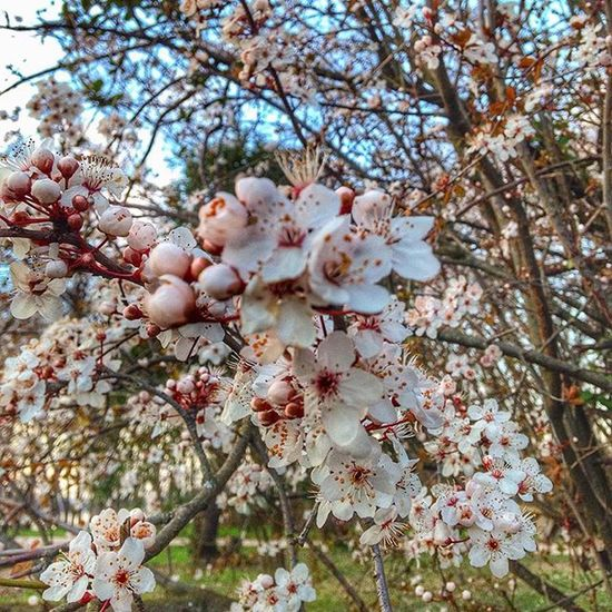 Spring is coming.. Spring Springtime Bourgeonsenfleurs Fleurs Instaflower Instaflowers Nature Naturegram Natureshot  Nature_perfection Naturelovers Natureaddict Nature_shots Igers_ardeche Igersardeche Guilherandgranges Ardechepleincoeur Rhonealpes AuvergneRhoneAlpes