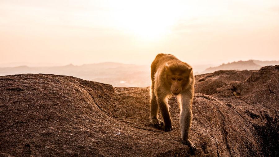 Monkey on rock against sky during sunset