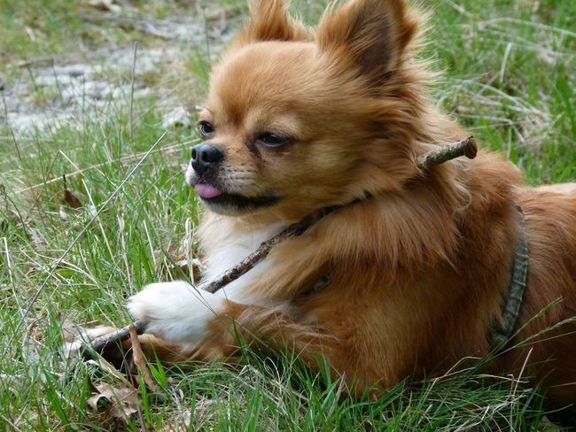 Dog Pets Domestic Animals One Animal Animal Themes Mammal Grass Pomeranian Day Outdoors Sitting No People Sticking Out Tongue Protruding Nature Close-up Chihuahualove Chihuahuas Of Eyeem Eyemphoto Pet Portraits EyeEmNewHere The Week Of Eyeem Chihuahuas