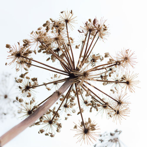 Seed on snow Flower Plant Flowering Plant No People White Background Studio Shot Beauty In Nature Nature Fragility Freshness Close-up Vulnerability  Indoors  Day Flower Head Dandelion Inflorescence Tranquility Growth Dandelion Seed Sea Snow