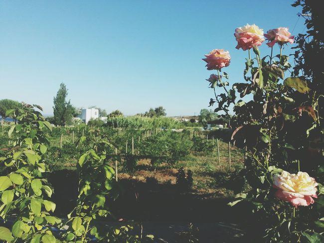 Bozcaada Roses Bağ Evi Green Nature Landscape Pink Colors Traveling