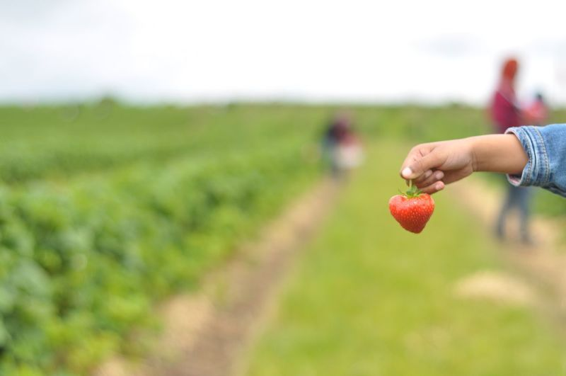 Strawberry 🍓 Strawberry Picking Strawberry Human Hand Fruit Field Food And Drink Human Body Part Red Agriculture Healthy Eating Freshness Nature Holding